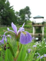 Blue flag Iris by vungtau