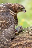 Accipiter gentilis by capitaodomato111