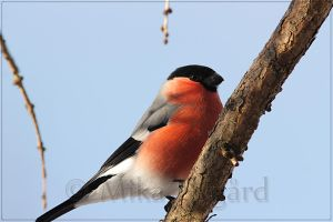 Eurasian Bullfinch 1 by Starfall00