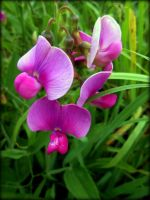 lost WILD ORCHIDS found SWEAT PEAS! by AudraMBlackburnsArt