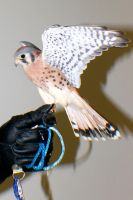 American Kestrel #5 by Darklordd