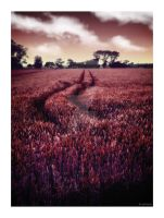 Red Wheat by caithness155