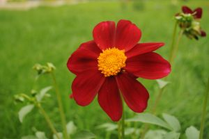 red flower by Tumana-stock