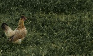 Gallina_Mrs Hen by malkarma
