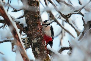 Great spotted woodpecker by indrekvaldek
