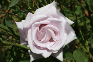 Pinky Lavender Rose Stock by OfGermanBlood