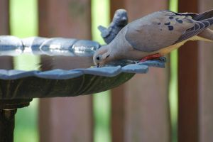 Mourning Dove by syadalymam