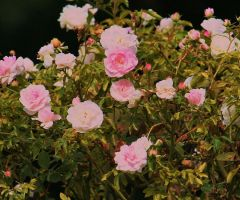 roses in flora garden 2 by ingeline-art