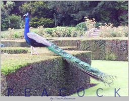 Peacock by since91