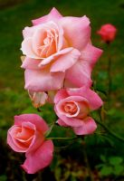 Pink Roses by WimskryBee