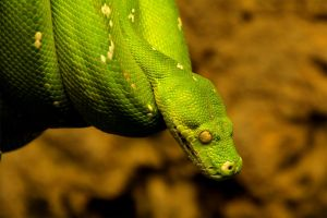 green tree python by Quiet-bliss