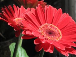 My Gerberas by crazygardener