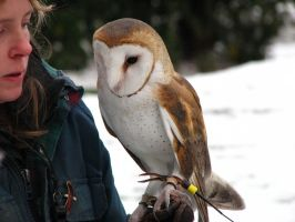 Barn Owl by gregonometry