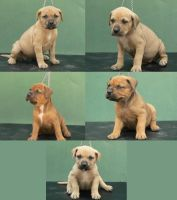 Bandog pups by natiawarner