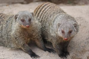 Banded mongoose I by Parides