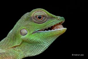 Green Crested Lizard by melvynyeo