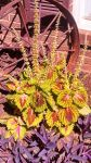 Coleus in Bloom by HollowDrake92