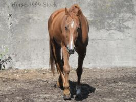 walking horse - Zada by Horses1999-Stock