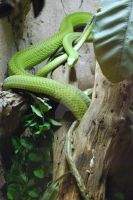 East African Green Mamba 02 by ManitouWolf