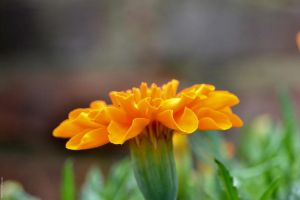 Marigold by WickedOwl514
