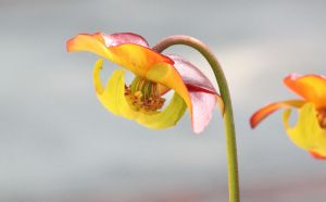 Pitcher Plant 2 by CASPER1830