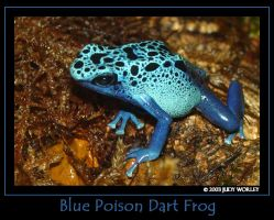 Blue Poison Dart Frog by Tazzy-