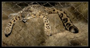 Sleeping Snow Leopard by Karl-B