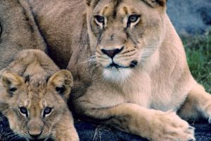 Lioness and cub by Art-Photo