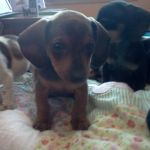 Brown Dachshund Puppy by FMFFML