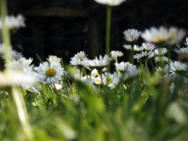 Daisies by AbbyDebz101