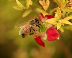 Close Up - Bee Pollination by Coraloralyn
