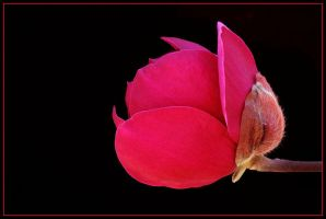 RED MAGNOLIA by THOM-B-FOTO