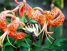 Swallowtail and Lillies by beautythroughalens