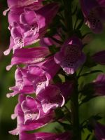 Foxglove 15 by botanystock