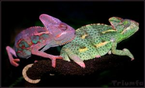 Colourful chameleon love by Triumfa