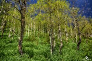 Blue Bells and Aspens HDR by mjohanson
