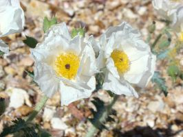 Two Prickly Poppies by ClymberPaddler