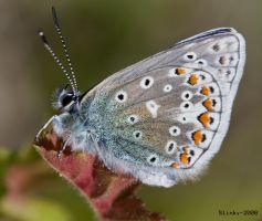 Chalkhill-blue butterfly by Slinky-2012