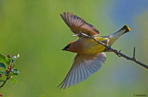 Cedar Waxwing Launch 2 by TerribleTer