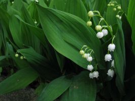 Lily of the valley by ormr