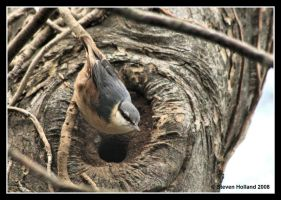Nuthatch by Kernow-Photography