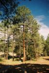 Tall Pines by Texas1964