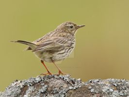 Surveying the land - Meadow pipit by Jamie-MacArthur