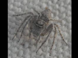 unknown spider by insectmaster