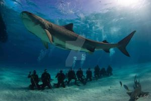 Shark File 2: Are Tiger Sharks Endangered? by Namyr