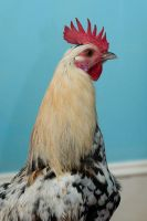 Rooster in my living room by stuntkid