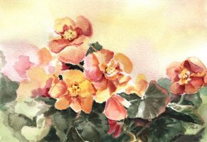 Begonias by asiapasek