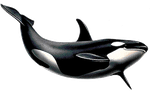 Killerwhale PNG by LG-Design