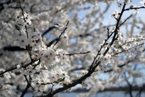 Apple trees in bloom stock #10 by croicroga