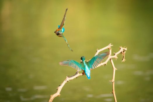 Common Kingfisher by rat-or-rat